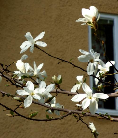U Väsby Magnolia b  kr