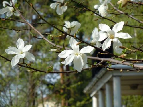 U Väsby Magnolia kr