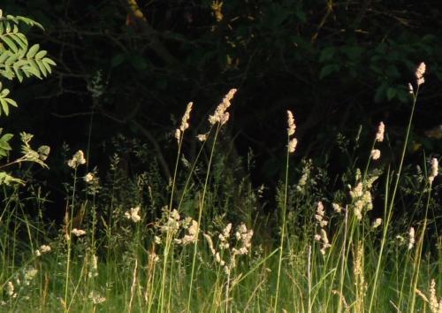 Gräs hundäxing