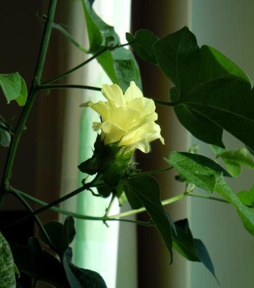 Bomullsträdet blommar b kr
