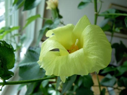 Bomullsträdet blommar kr