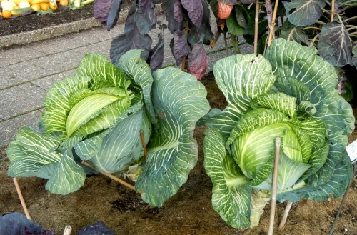 Köksväxter kål d