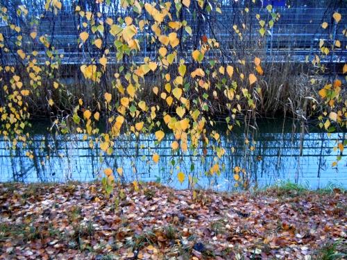Löv som vägrar släppa grenen kr