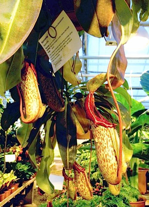 Köttätande växt med plats för flera flugor kr