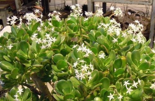 Livsträdet blommar kr