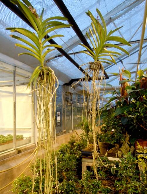 Orkideer med luftrötterna befriade kr