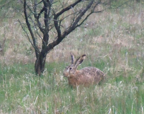 Haren b kr
