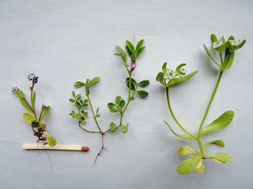 Småväxterna kr