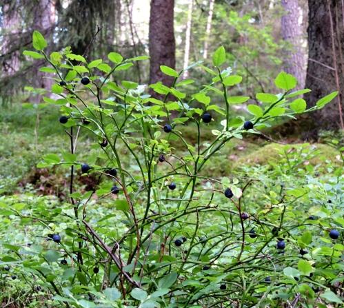 Blåbärsskog kr