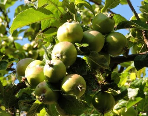 Äppelkarten trängs i föreningens plantering kr