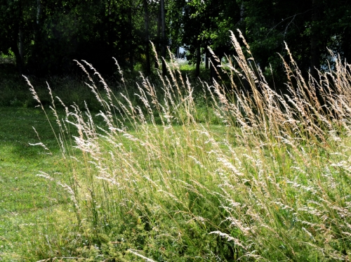 Överblommat gräs kr