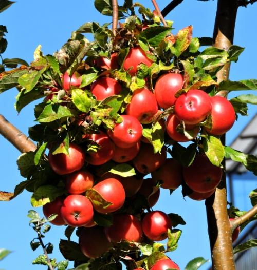 Äpplen ogallrade kr