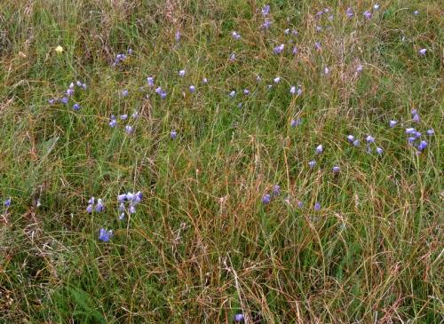 iten blåklocka i det vissna gräset kr