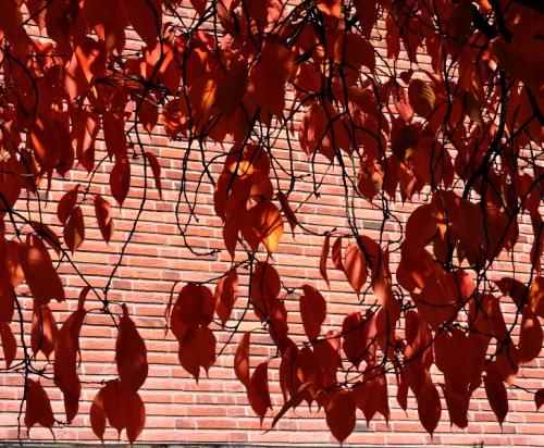 Körsbärsblad mot väggen kr
