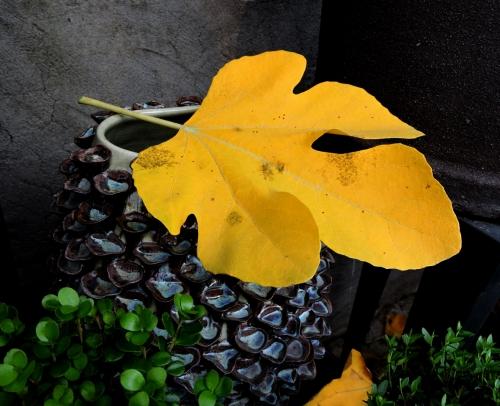 Fikonlövet har fallit kr
