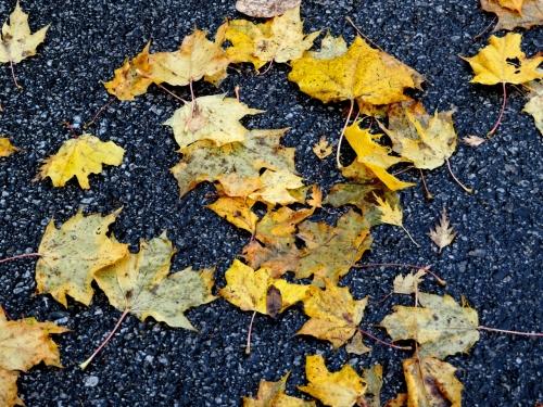 Lönnlöv på asfalt kr