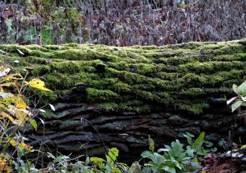 Bergianska fällt träd i skogen kr