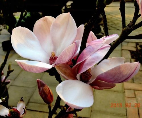 U-dal c magnolia kr