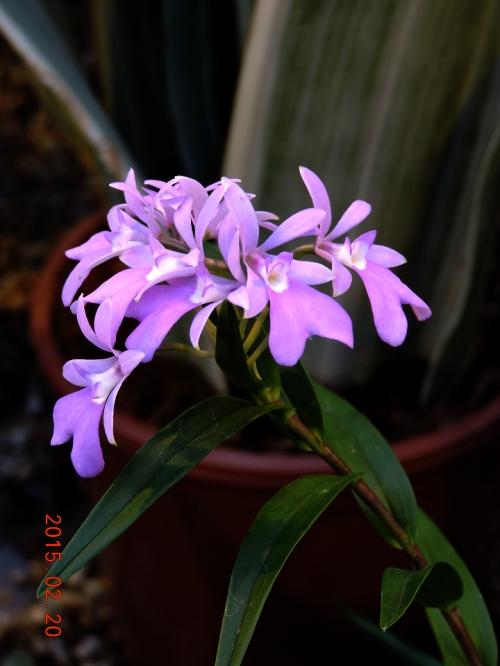 U-dal j liten orkide