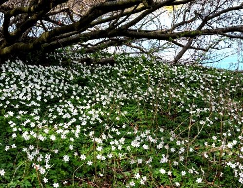 Bergianska april 15 norrsluttning mot vattnet