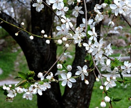 Bergianska april 2015 körsbärsplommon nära dammen