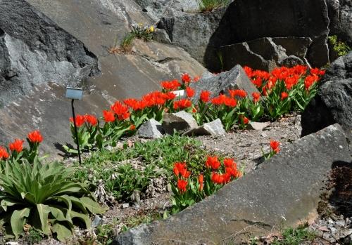 Bergianska eldtulpande i klippskreva.
