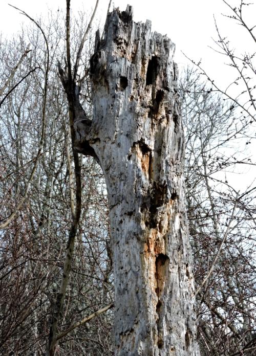 Dött träd sparat för insekter