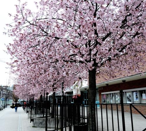Körsbärsblom i Väsby e