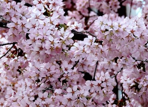 Körsbärsblom i Väsby