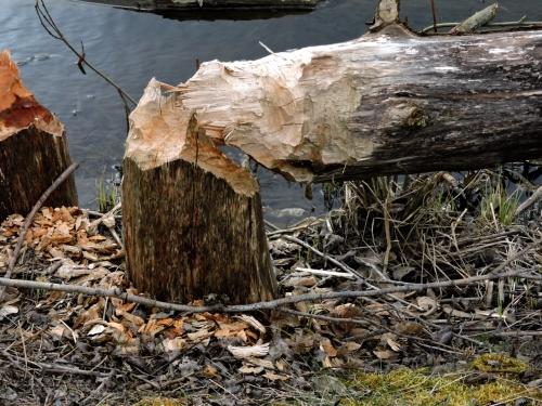 Väsby River beavergnaw