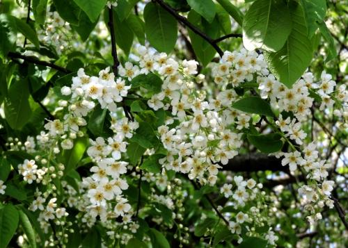 Häggen blommar