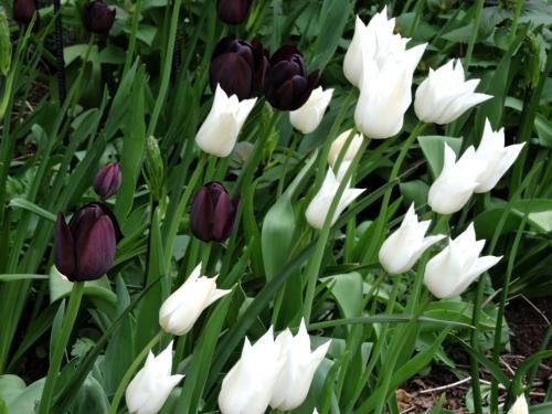 Vita liljeblommande tulpaner