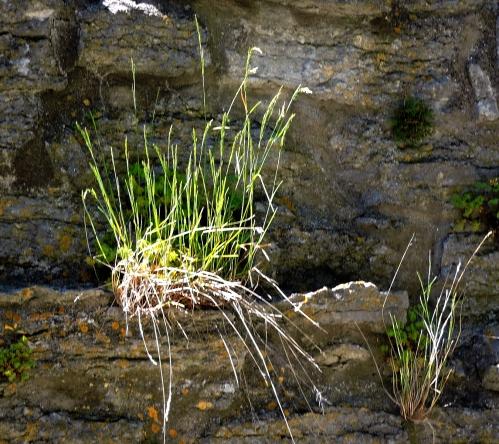 Gotland Gräs på muren