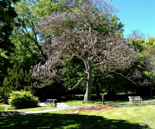Gotland kejsarträd