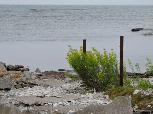 Gotland Vargtörel eller Kärrtörel på Faludden