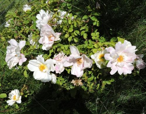 Rosen från parkeringen
