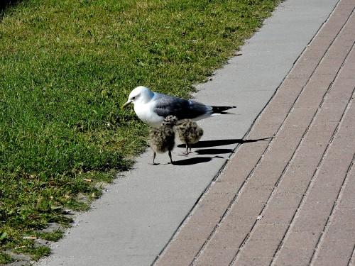 Gotland mås met två ungar