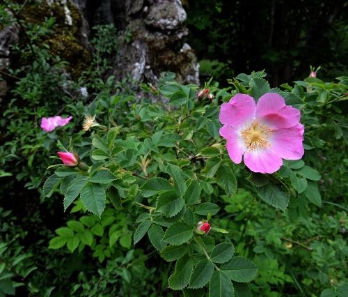 Rosen vid eken vid Lojsta b