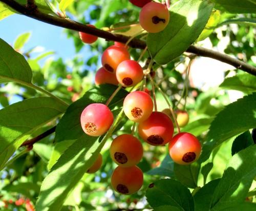 Bäräpplen c