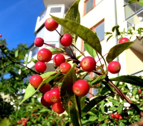 Bäräpplen d