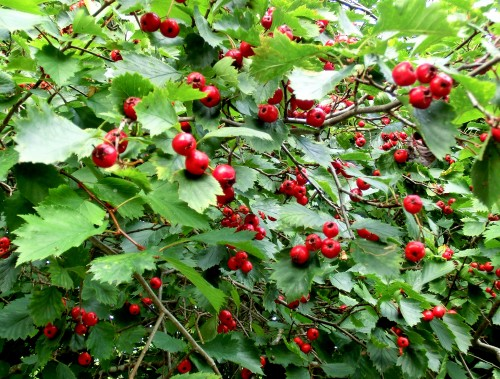 Hagtornsbuske