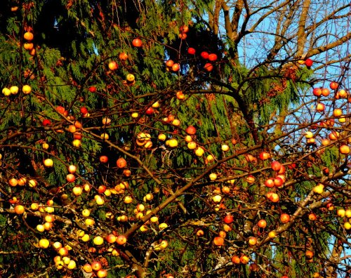 Äpplen för fåglar