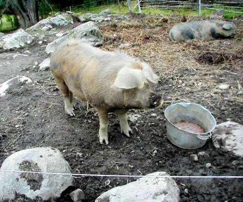 Gunnes gårds grisar