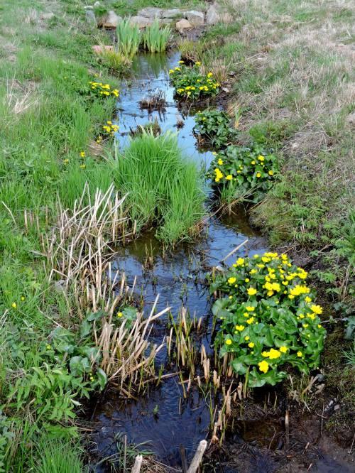 Kabbelekor i våtmarken